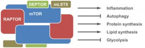 mTOR pathways